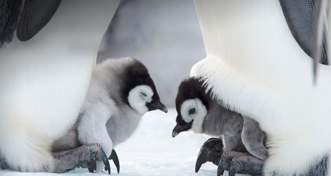 Baby Penguins under the mommies