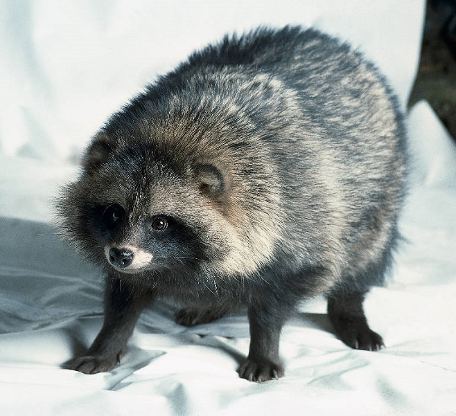 Fluffball Raccoon