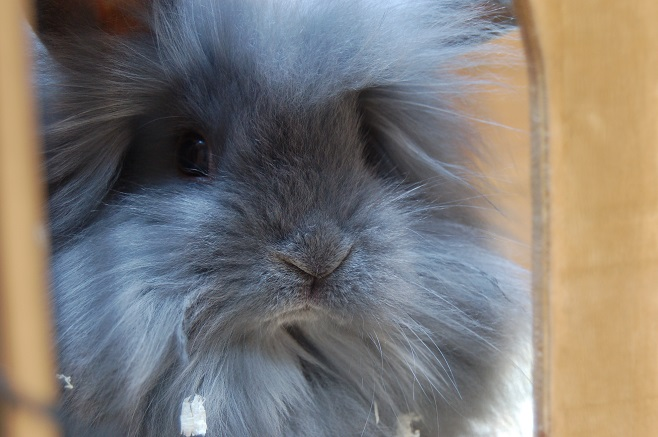 Gray Super Fluffy Rabbit