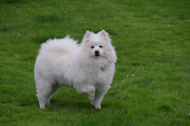 Majestic American Eskimo Dog