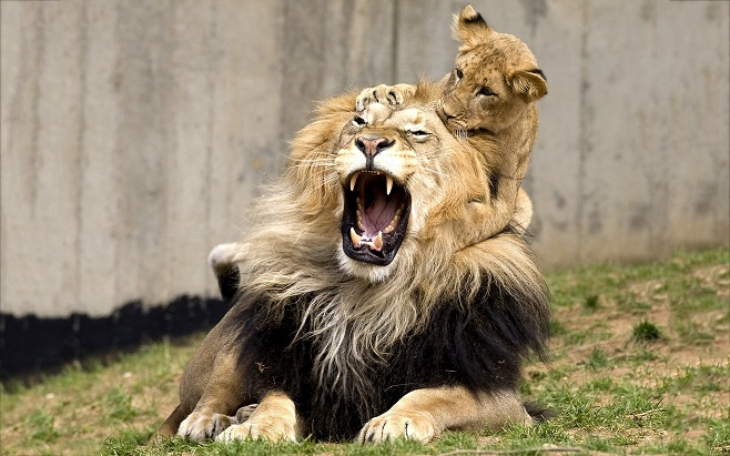 Parent and Child, Lion Cub