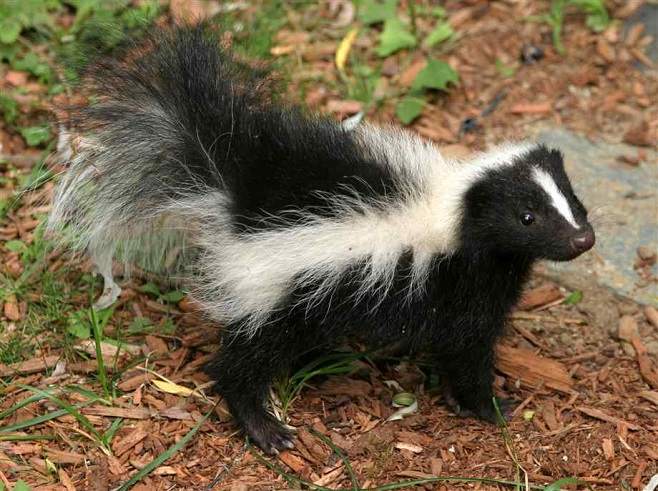 Skunk Fluffball