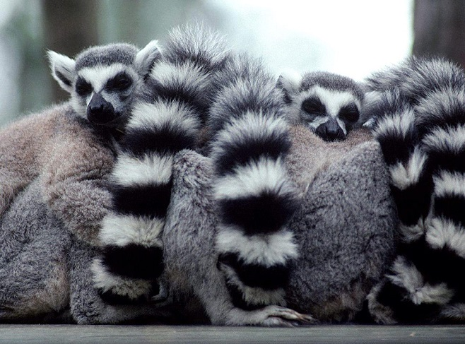 Sleeping Lemurs