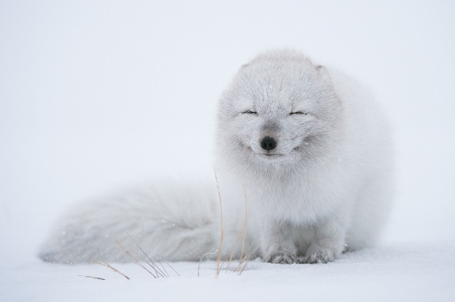 Smiling Arctic Fox