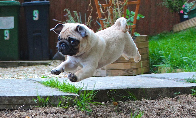 Photoshop Battle 10 Baby Pug in midair