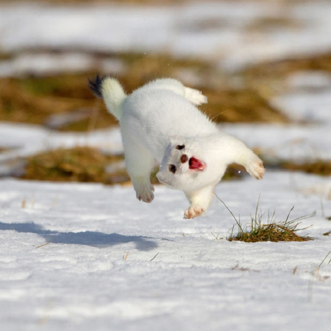 Photoshop Battle 2 Stoat