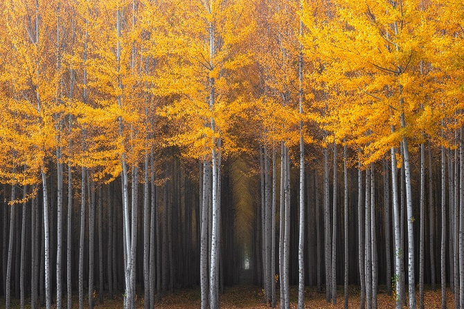 Thick grove of poplar trees in northern Oregon