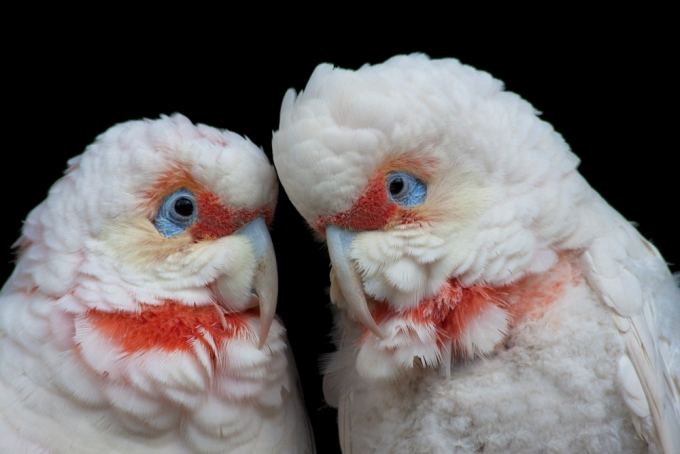Twin Corellas