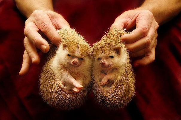 Twin Hedgehogs