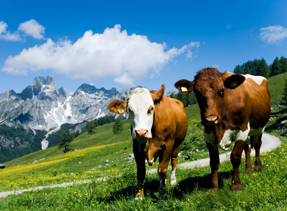Cow with best friend