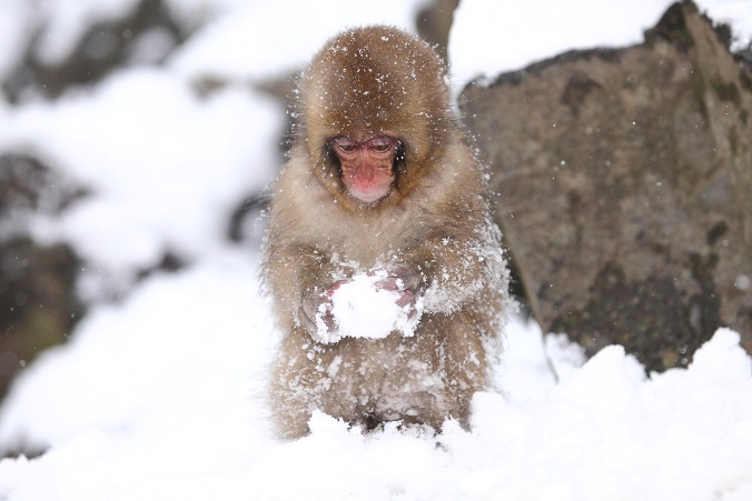 Young Japanese Macaques