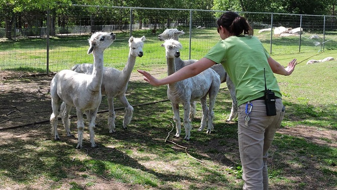 Surrounded By Alpacas
