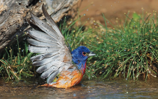 Painted Bunting. Zachary Webster