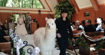 Alpacas To Attend Your Wedding