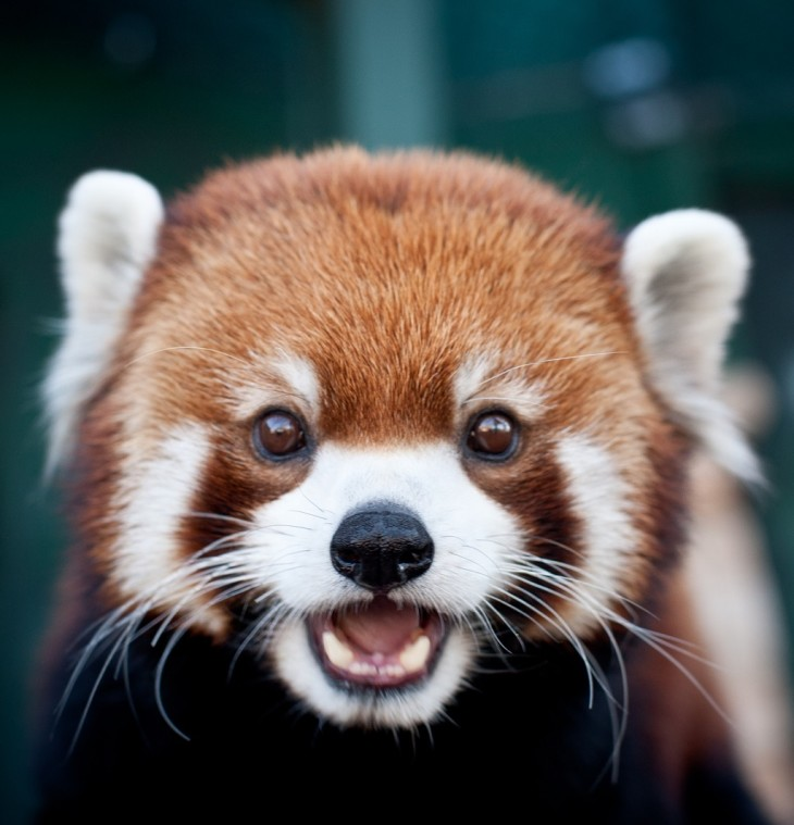 are red pandas the most adorable animals on earth