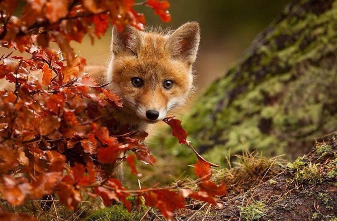 Image result for Autumn fox