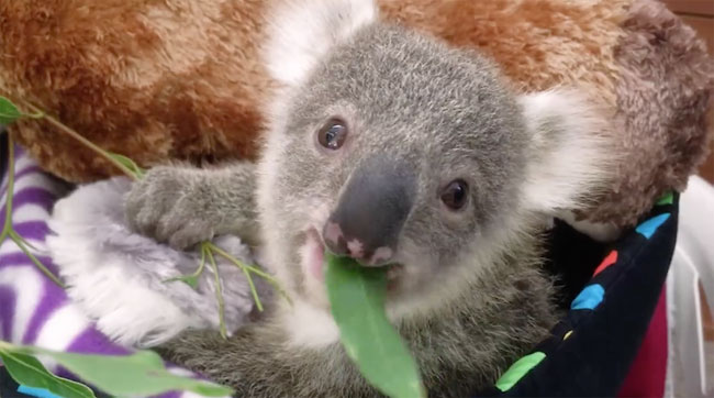 Baby Koala Poses for First Photoshoot
