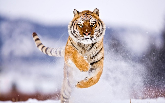 Bengal Tiger In The Snow