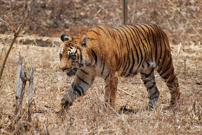 Bengal Tiger In The Wild