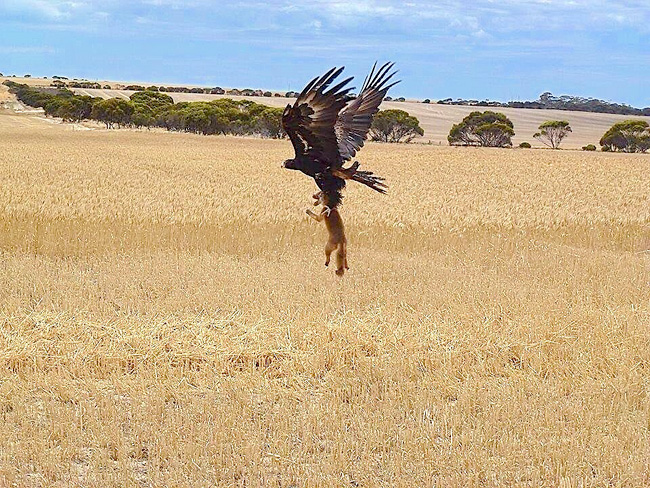 Eagle kidnapping a fox