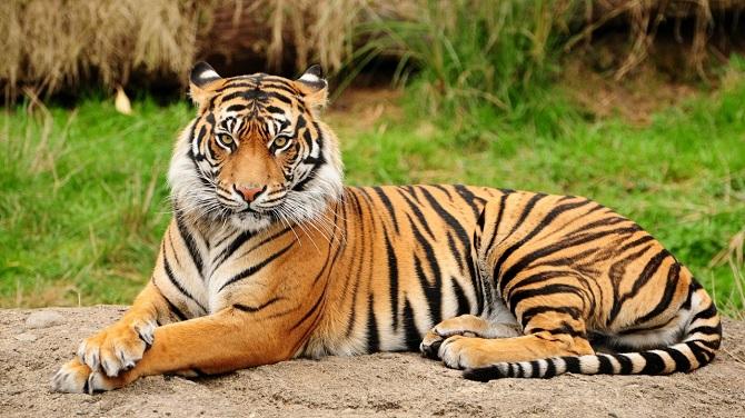 Gorgeous Bengal Tiger