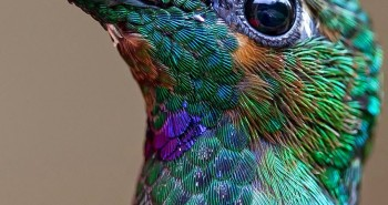 Gorgeous Humming Bird