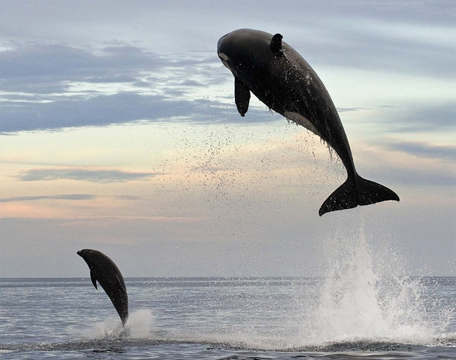 Orca whale leaping 15 feet out of the water