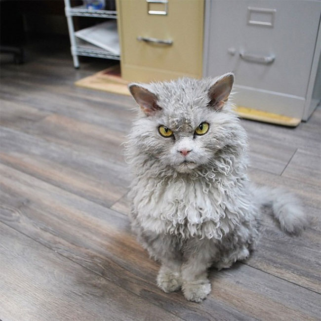 Curly-Haired Cat