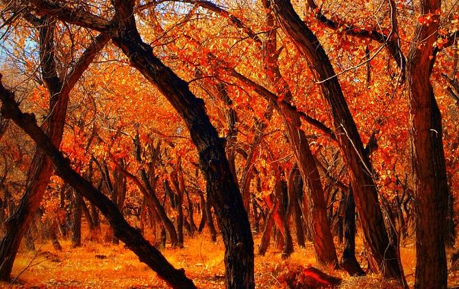 New Mexico Cottonwoods