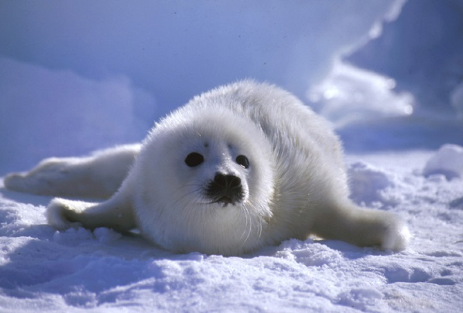 Whitecoat Baby Seals Are The Most Adorable Thing You'll ...