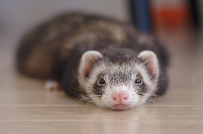 Are Ferrets The Longest Fluffy Pets In The World