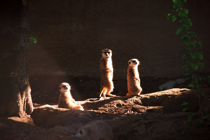 Adorable Meercats