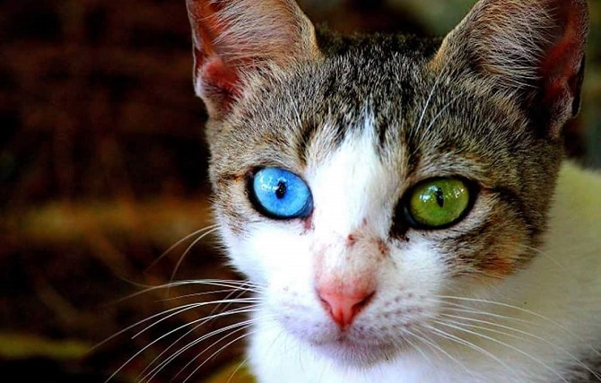 Heterochromic Eyed Cat