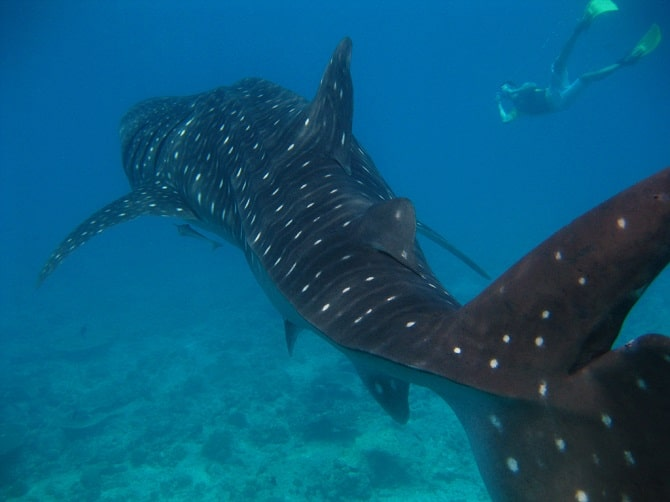 largest whale shark - photo #16