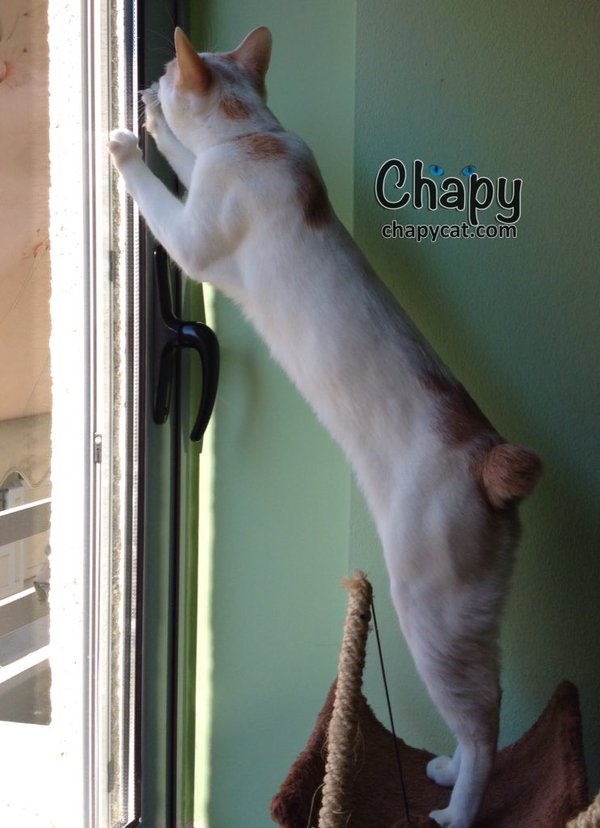 No tail Chapy