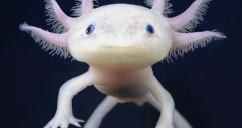 Adorable Axolotl