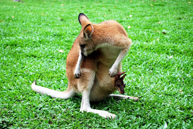 Baby Wallaby