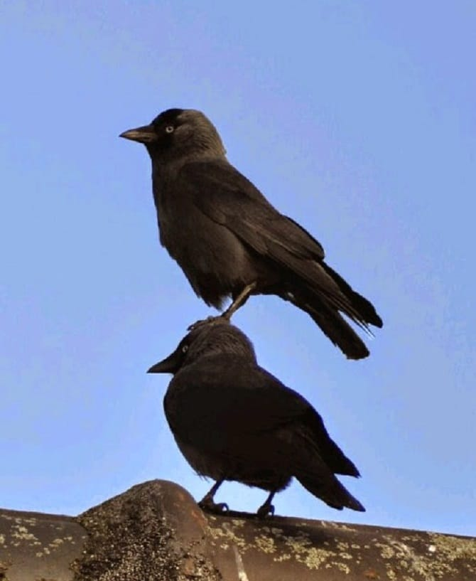 Crows being pests