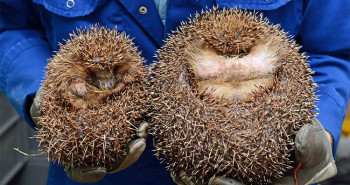 Edinburgh, Scotland's fattest hedgehog