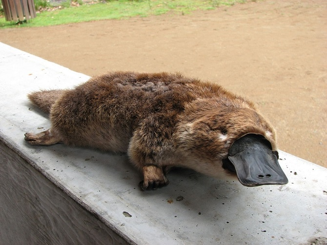 The Adorable Mixture Of Animals That Are Platypus