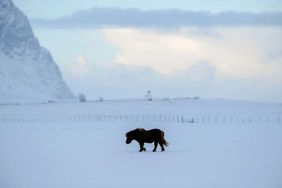 A pony walks in the snowy bay of Unstad , Lofoten Island, in Arctic Circle, on March 8, 2016.
