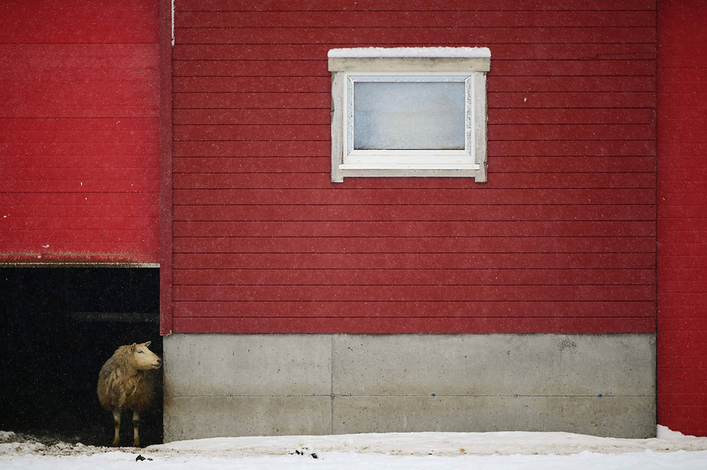 A sheep looks out of his shelter in the snowy bay of Unstad, Lofoten Island, in Arctic Circle, on March 8, 2016.