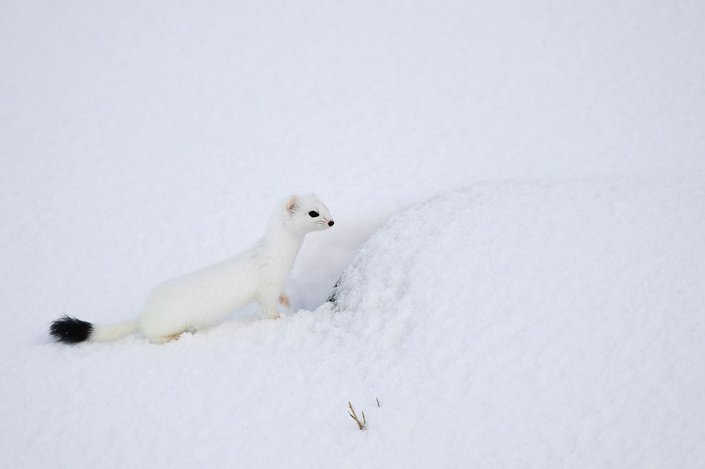 An arctic weasel stands on the snowy beach of Unstad , Lofoten Island, in the Arctic Circle, on March 8, 2016.