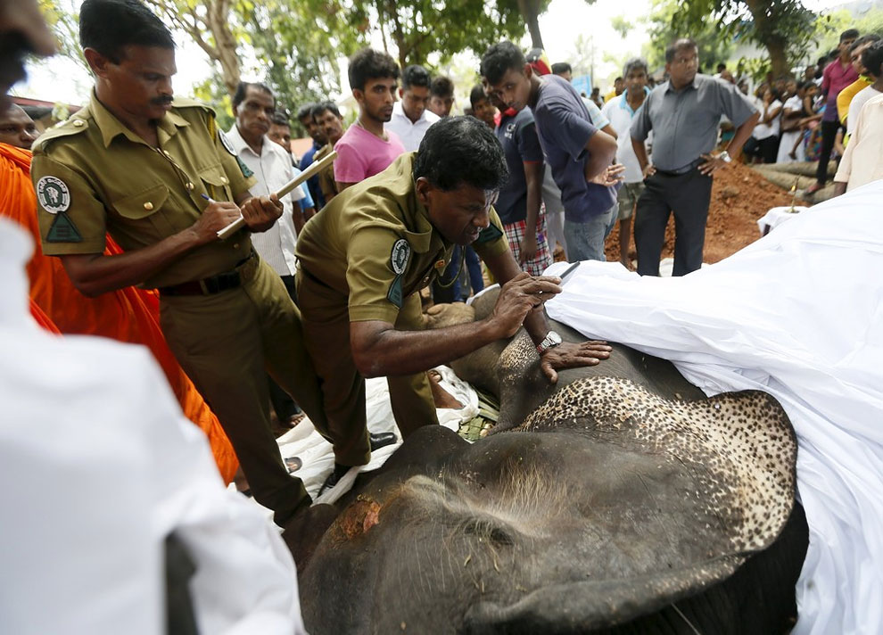 An officer from Wild Life takes pictures of the dead body of elephant Hemantha before the religious ceremony at a Buddhist temple in Colombo March 15, 2016.