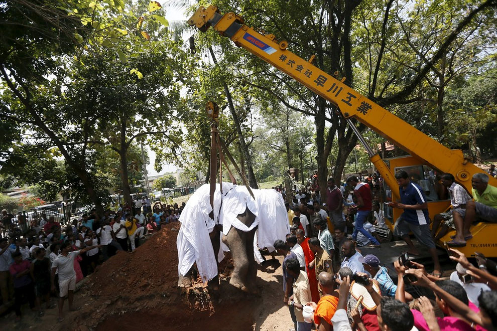Local villagers prepare to bury the body of elephant Hemantha during a religious ceremony at a Buddhist temple in Colombo March 15, 2016.