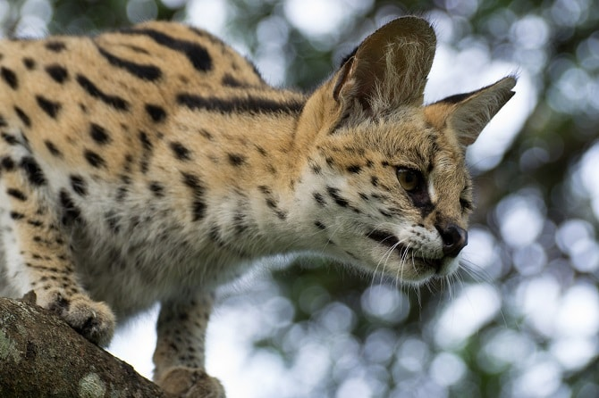 Serval Wild Cats