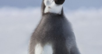 Penguin's Fur Pattern