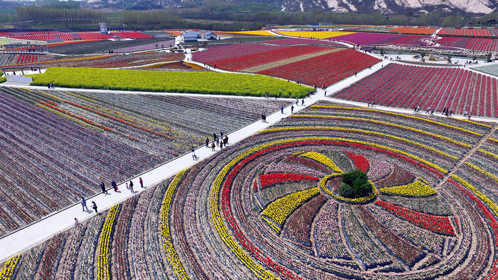 China's Tulip Fields