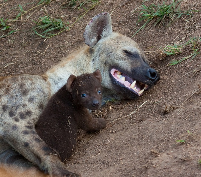 Baby Hyena: The Most Dangerously Adorable Hyena Pups