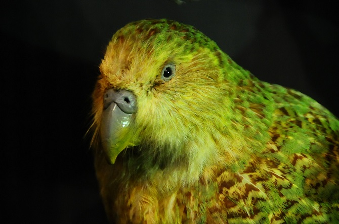 kakapo is the most helpless rare parrot on earth